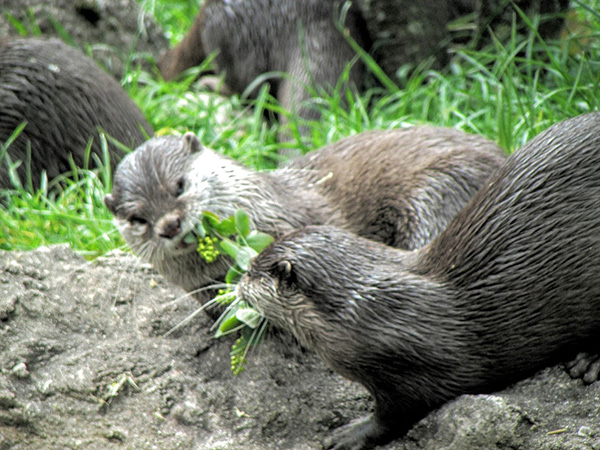 Otters Play Tug-of-War with a Plant