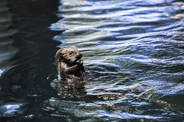 Sea Otter Pup Ellie Bobs in the Water with a Snack
