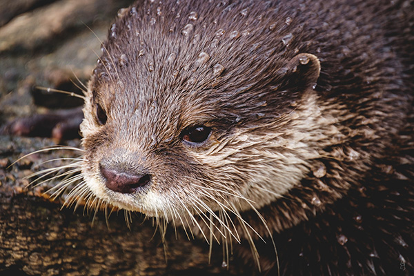 Water Beads Up on Otter's Fur