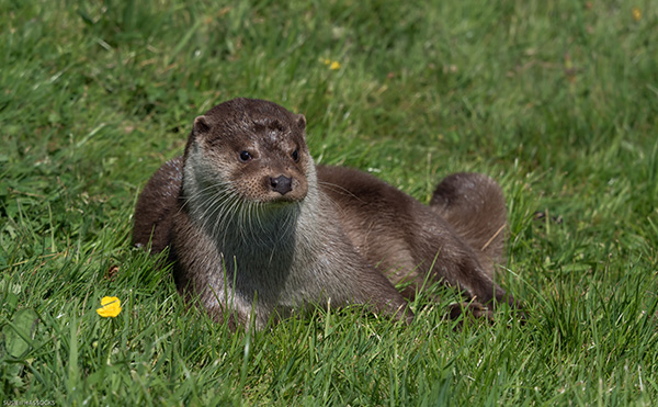 Contemplative Otter Lounges in the Grass and Thinks