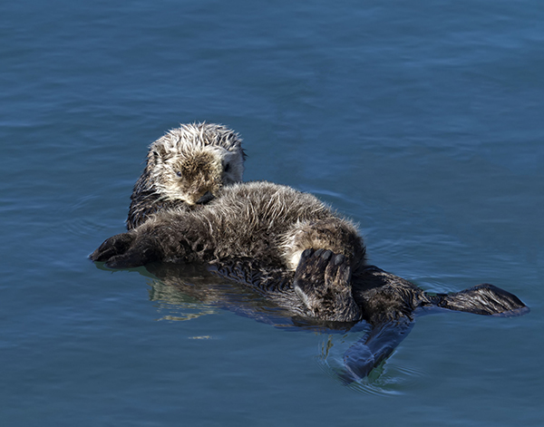 Mother Otter Grooms Her Pup