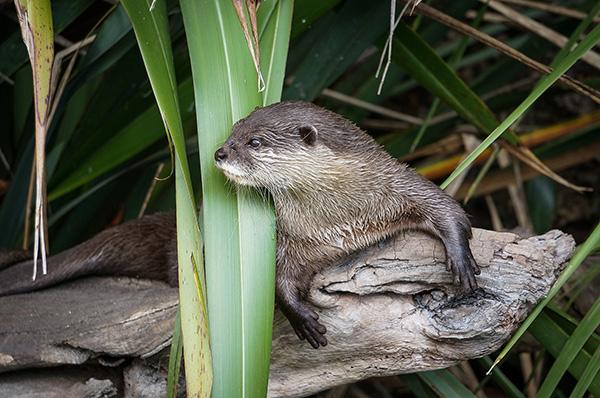 Nosy Neighbor Otter Is Always Watching