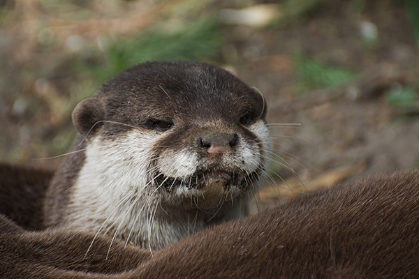 Otter Plots Revenge After Having Been Tricked into Eating a Dirt Fish
