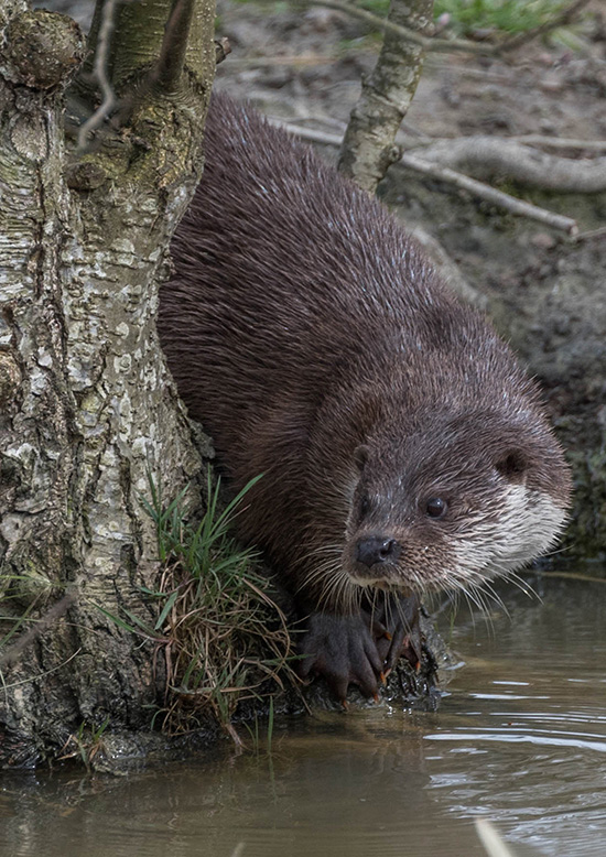 Otter Slinks Quietly Into the Water