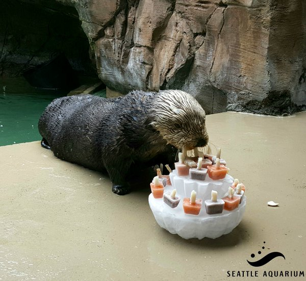 Sea Otter Lootas Checks Out Her Birthday Cake