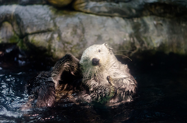 Sea Otter Contorts to Reach an Itch