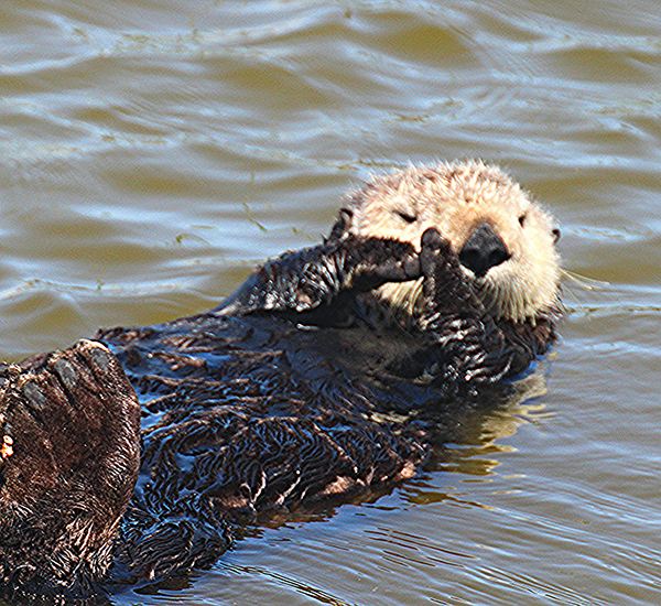 Sea Otter Referee Calls for a Time-Out
