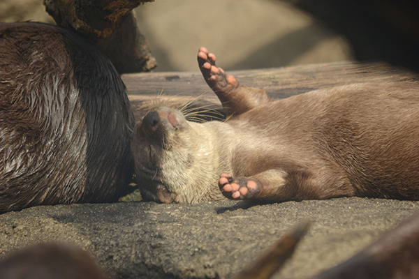 Sunbathing Otter Soaks Up the Rays