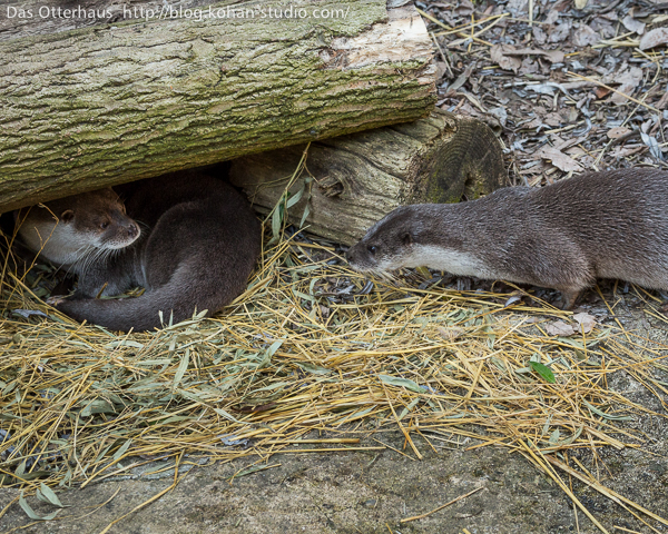 There's Only Room for One Otter Under Here, Pal