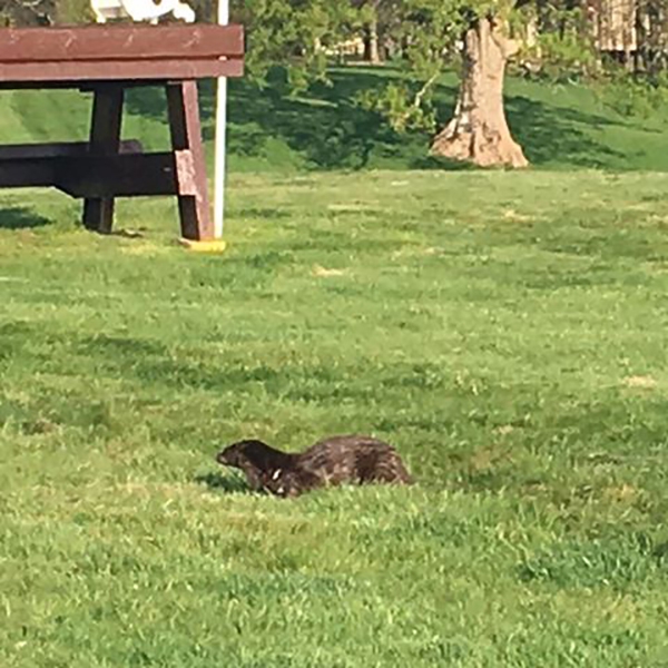 Thoughtful Otter Tests Out the Event Course for His Equine Friends