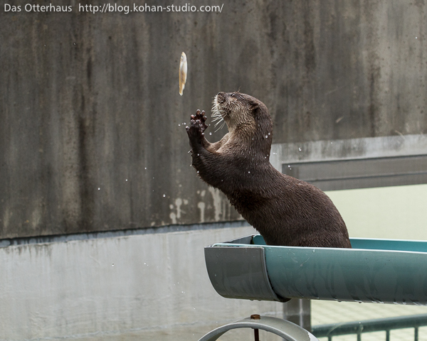 Great Catch, Otter! 1