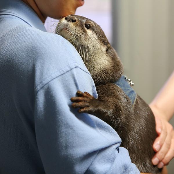Otter Enjoys Keeper Cuddles