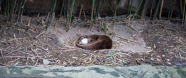 Otter Finds a Cozy Nook for a Nap