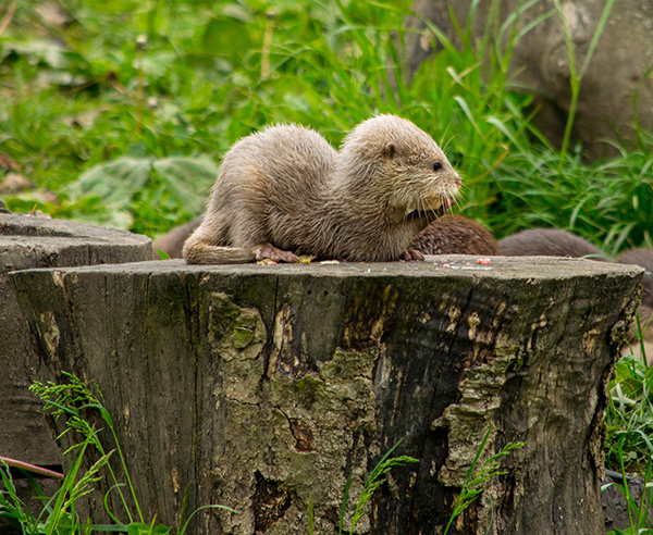 Otter Pup Has a Snack on a Treestump