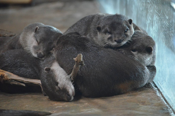 Sleepy Otter Friends Pile Up for a Nap