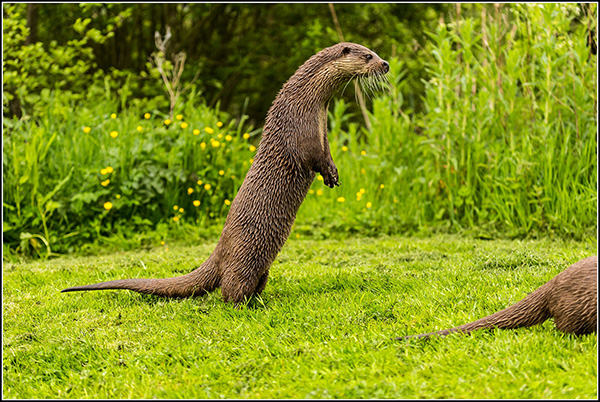 Zombie Otter Lurches After His Friend