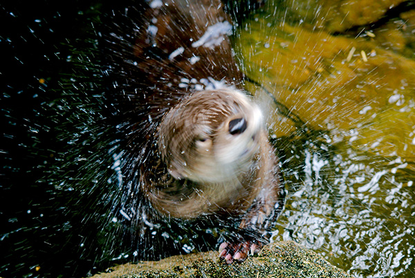 Don't Get Too Close to a Wet Shaking Otter