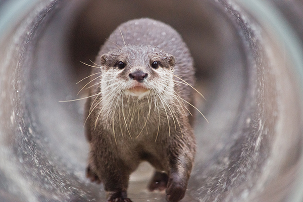 Here Comes Otter Through the Ottertube!