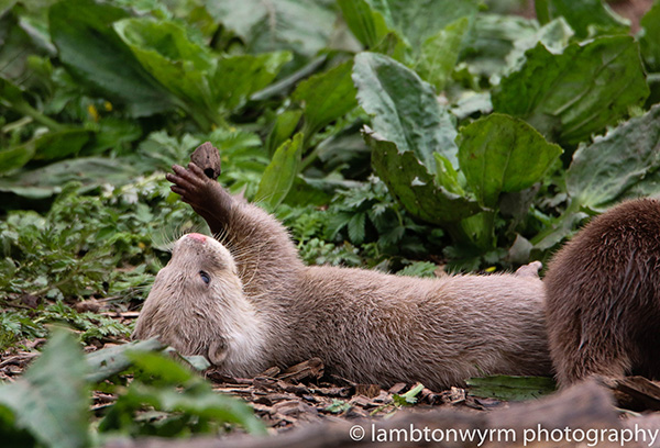 Otter Contemplates His New Juggling Rock