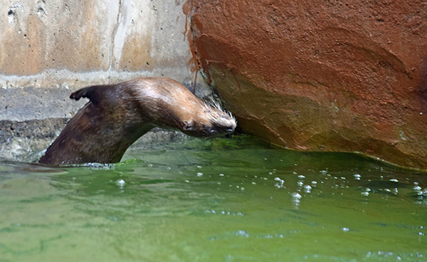 Otter Does a Back Flip into the Water