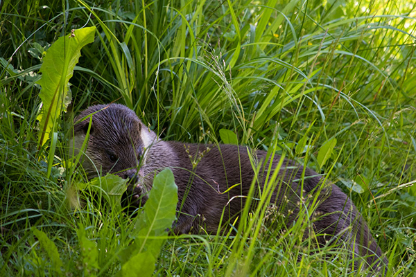Otter Finds a Cozy, Grassy Nook for a Nap