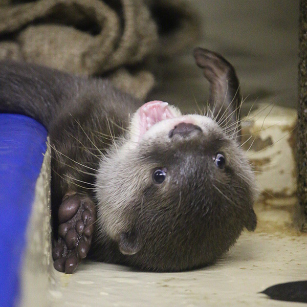 Otter Pup Looks So Happy and Playful!