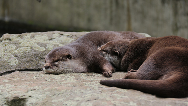 Otter Sleeps with His Nose in His Friend's Armpit