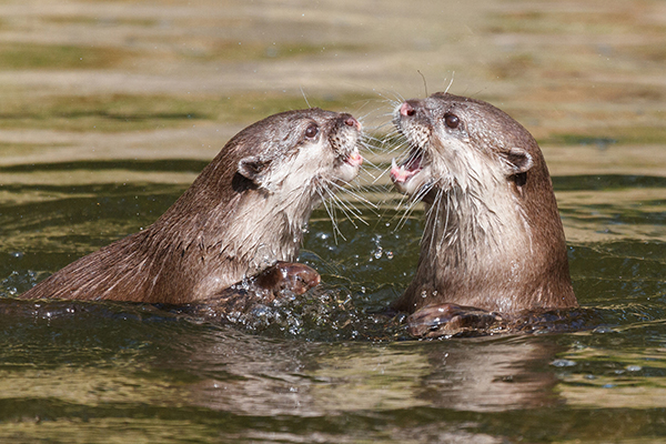Otters Have a Good Time Roughhousing in the Water