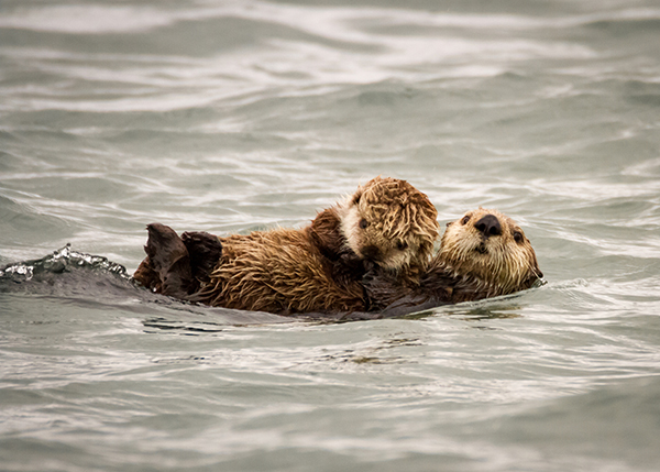 Protective Sea Otter Mother Holds Her Pup Tightly