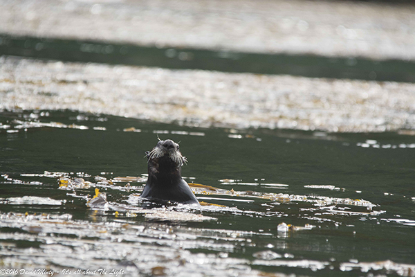 Sea Otter Bobs in the Water