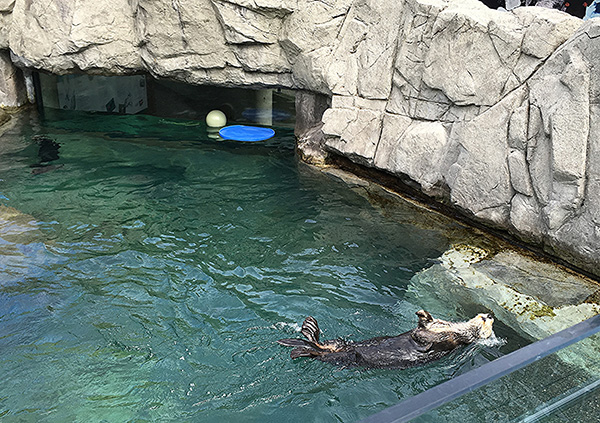 Sea Otter Lazily Floats Along in the Pool