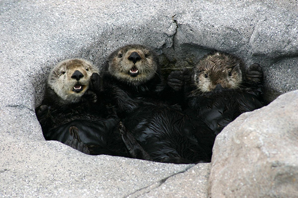 Sea Otters Crowd in the Bath