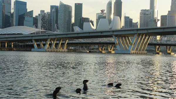 Singapore's Famous Otter Family 1