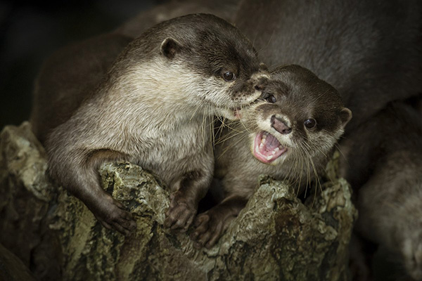 Cheek Nibbles Make Otter Giggle!