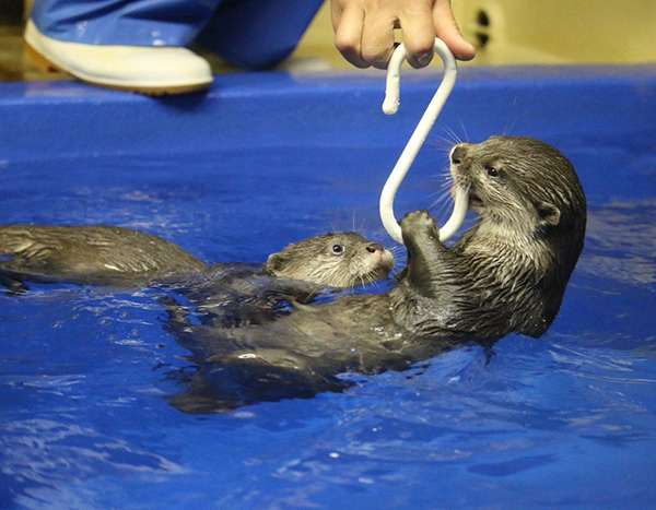 Human Has Caught a Little Otter!