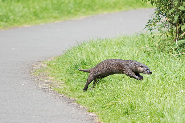 Otter Leaps into the Grass