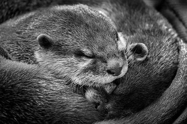 Otters Curl Up Tightly for a Nap