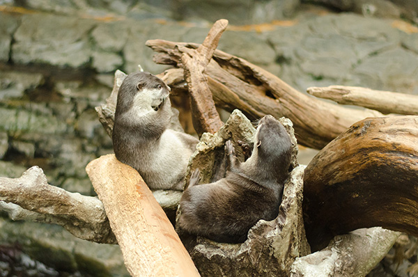 Otters Find Some Good Seats