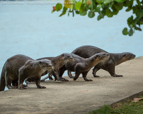 Reservoir Otters