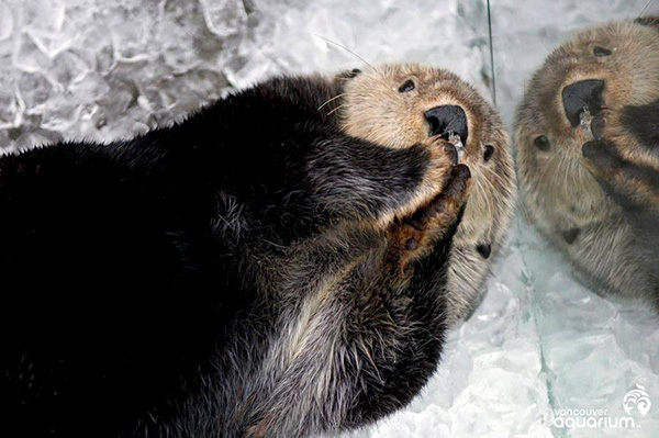 Sea Otter Nibbles on Some Crunchy Ice