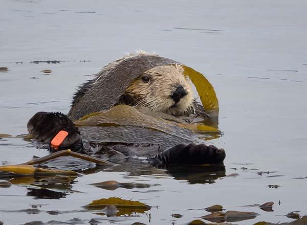 Sea Otter Wears a Kelp Jedi Robe