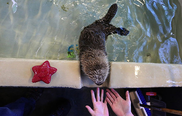 Seattle Aquarium Takes in a Tiny Sea Otter Pup 1