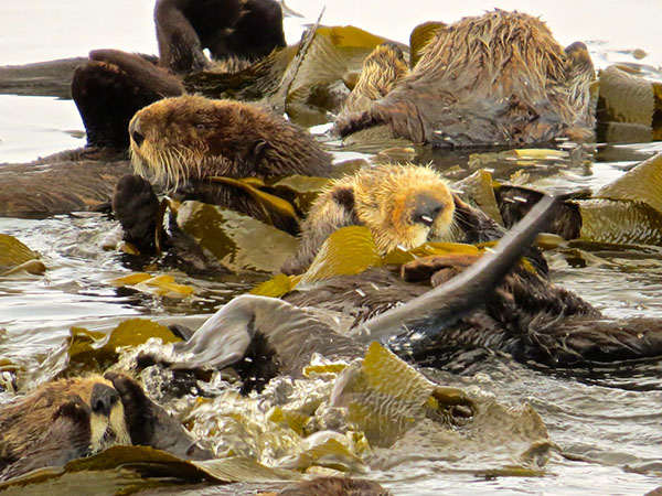 A Raft of Sea Otters Curl Up in Kelp for Forty Winks