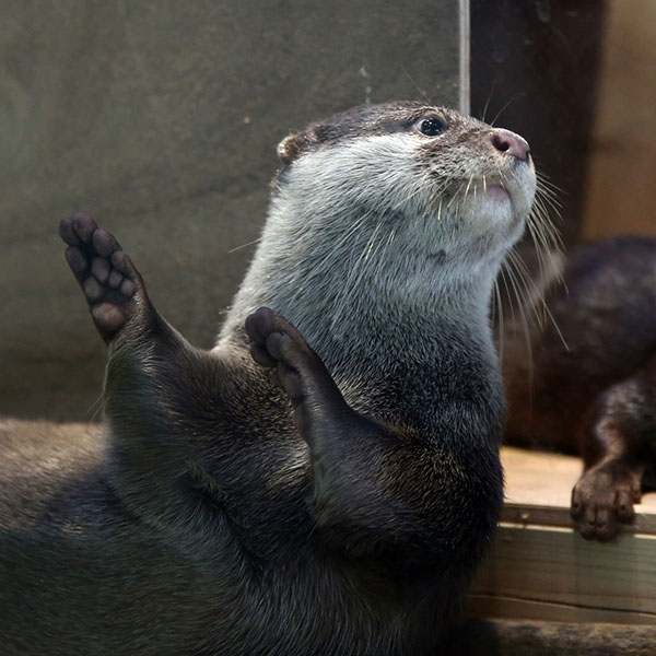 Otter Does the Hula Dance
