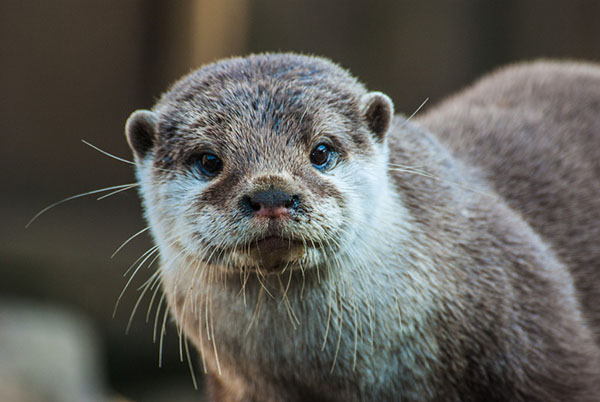 Otter Makes Eye Contact