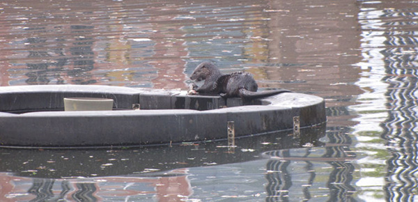 Otters Find a Snack in a Pond 1