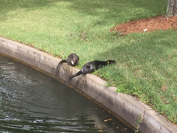 Otters Find a Snack in a Pond 5