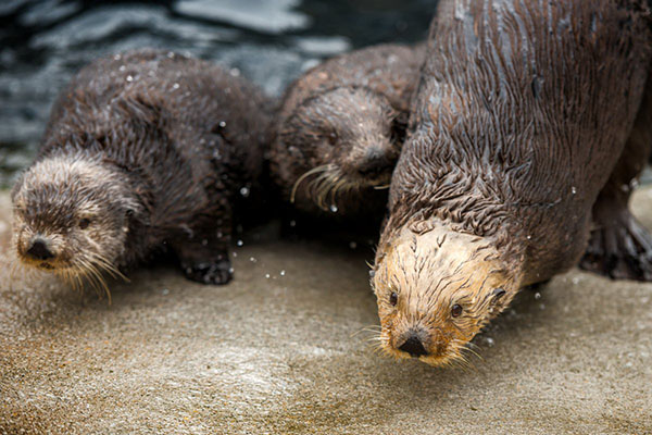 Sea Otter Awareness Week 2016 Starts Today!
