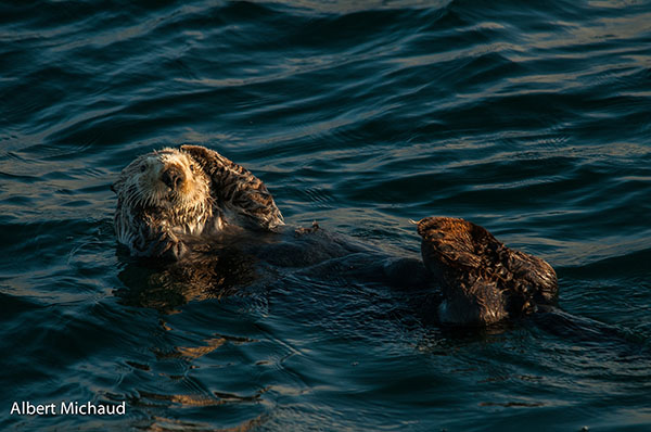 Sea Otter Grooms Her Head Fur