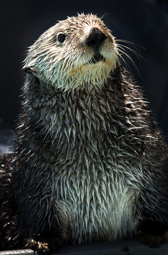 Sea Otter Is at Attention